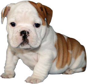 CT English Bulldog Puppies | FOR SALE | 203-496-9495